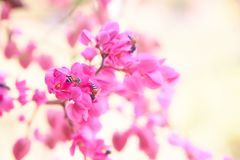 Bee nibble on sweet pink flowers. Bulr backgroung,copy space Stock Photography