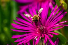Bee collecting pollen on noon flower stock photos