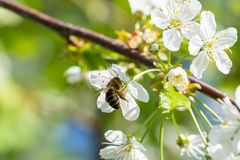 Free Bee On A Cherry Blossoms. Spring Floral Background. Stock Image - 136908221