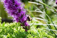 Free Bee On A Mauve Flower Stock Photo - 225940