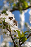 Bee On A Spring Blossom Stock Images