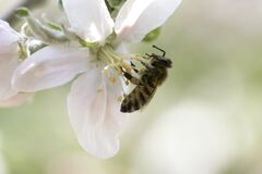 Free Bee On A White Flower On A Tree.Bee Picking Pollen From Apple Flower Royalty Free Stock Photo - 180175915