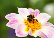 Bee On Beautiful Flower Royalty Free Stock Image