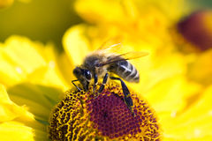 Bee On Cone Flower Collects Nectar Royalty Free Stock Images