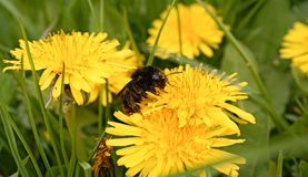 Free Bee On Dandelion Royalty Free Stock Images - 89925289