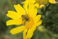Free Bee On Flower Stock Photography - 2259272