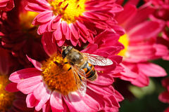 Free Bee On Flower Stock Images - 46397864