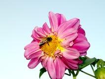 Free Bee On Flower Stock Photos - 768533