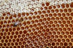 Free Bee On Honeycomb Stock Photo - 14795490