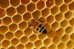 Bee On Honeycomb Stock Photos