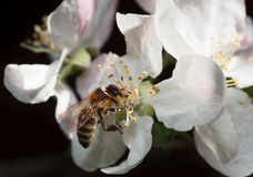 Bee On Pink Apple Flower Royalty Free Stock Image
