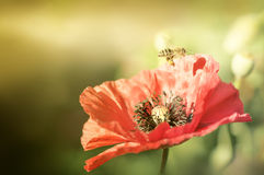Free Bee On Poppies Rays Of The Sun Royalty Free Stock Photos - 57631698