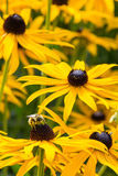Bee On Rudbeckia Blooms Stock Images