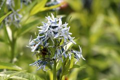 Free Bee On Side Of Eastern Bluestar Or Amsonia Tabernaemontana Flowering Plant Bunch Of Small Light Blue Open Blooming Flowers Stock Photos - 167770853