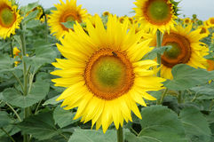 Free Bee On Sunflower Royalty Free Stock Photo - 977155