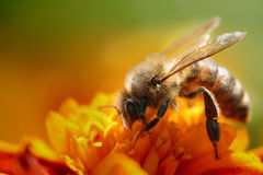 Free Bee On The Flower Royalty Free Stock Photography - 4638797