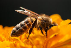 Bee On The Orange Flower With Copyspace Stock Photo