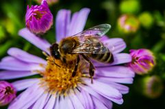 Free Bee On The Purple Diasy Stock Images - 112054124