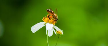 Free Bee On The White Flower Royalty Free Stock Photos - 32724448
