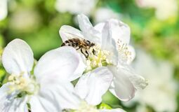 Free Bee On The White Flower Of Apple Blossom Royalty Free Stock Photography - 185869457