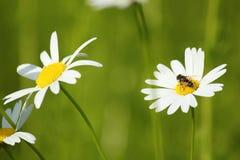 Free Bee On White Flower Stock Photos - 25060383