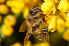 Free Bee On Yellow Flower Royalty Free Stock Photography - 28935577