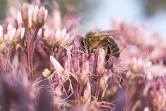 Bee onb pink flower Royalty Free Stock Photo