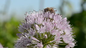 Bee on onion blossom in summer Stock Images