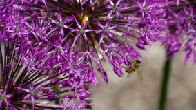 Bee on onion flowers stock video footage