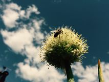 Bee on the onion's flower Royalty Free Stock Image