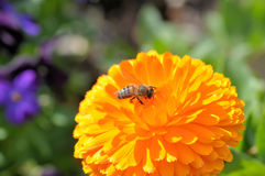 Bee on orange calendula. A honey bee gathers pollen from a brilliant orange calendula blossom Stock Photos