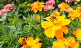 Bee on orange Cosmos  in flower garden in the morning Royalty Free Stock Image