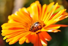 Bee on an orange flower Stock Images