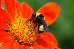 Bee on orange flower Royalty Free Stock Images