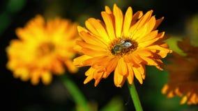Bee on a orange marigold stock footage