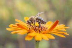 Bee on orange marigold stock photography