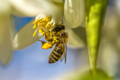 Bee on an orange tree flower Royalty Free Stock Photography