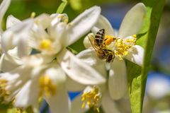 Bee on an orange tree flower Stock Photo