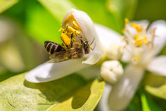 Bee on orange tree flower Stock Images