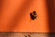 Bee on orange wall basks in the sun Stock Image