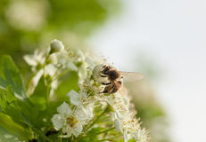Bee in orchard Royalty Free Stock Photography