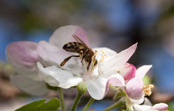 Bee in orchard Royalty Free Stock Photo