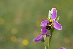 Bee Orchid Stock Photography
