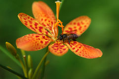 Bee on Orchid. A bee lands on a beautiful orchid royalty free stock images