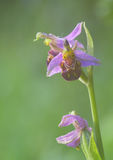 Bee Orchid Stock Photos