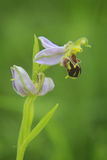 Bee orchid in bloom Stock Photography