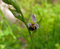 Bee orchid macro - Ophrys apifera Royalty Free Stock Images