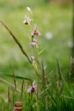 Bee orchid Ophrys apifera. This wild 'Bee orchid' was growing at the RSPB bird reserve at Bempton near Bridlington in Yorkshire  England Stock Image
