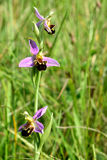 Bee orchid (Ophrys apifera) Stock Photos