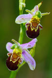 Bee Orchid, Ophrys apifera, flowering European terrestrial wild orchid, nature habitat, detail of two beautiful bloom, green clear Stock Image